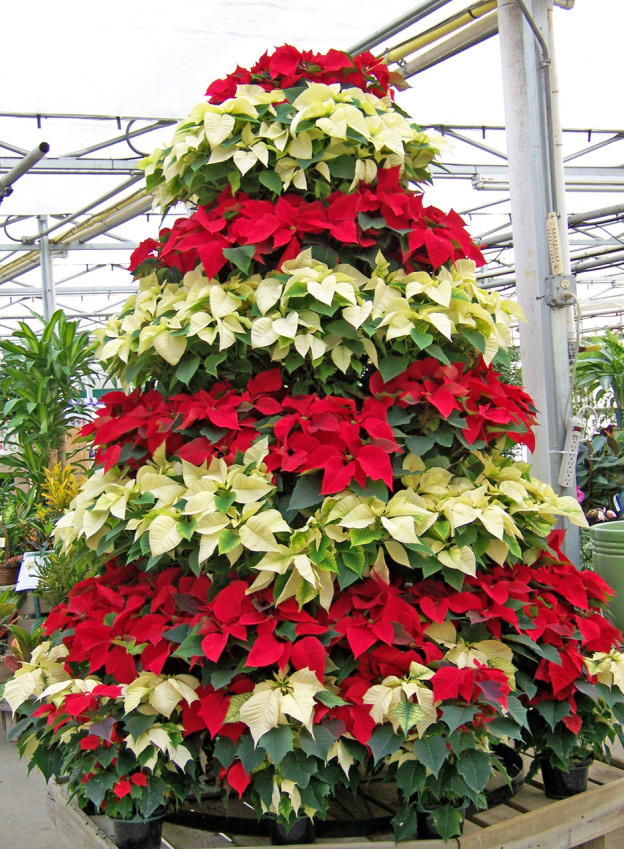 poinsettia-christmas-tree-1303836563WVR