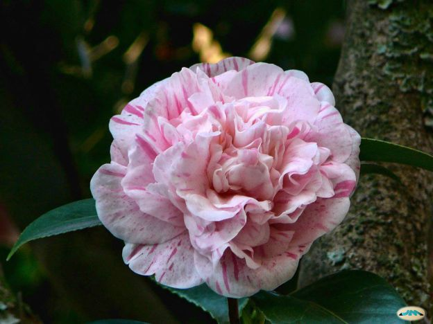 planta ornamental de camelia infectada por virus
