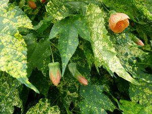 planta ornamental infectada por virus Abutilon mosaic virus