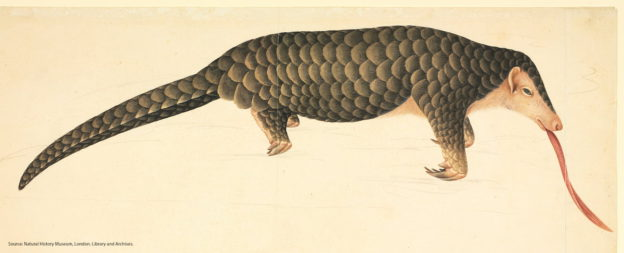 Pangolin / Natural History Museum (Londres). Crédito: Biodiversity Heritage Library