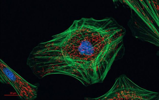 Indian_Muntjac_fibroblast_cells_23725924864-640x405